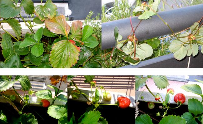 erdbeeren pflanzen balkon wann bild erdbeeren in topf oder gartenbeet pflanzen. Black Bedroom Furniture Sets. Home Design Ideas